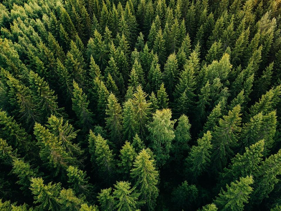 forêts pin sylvestre